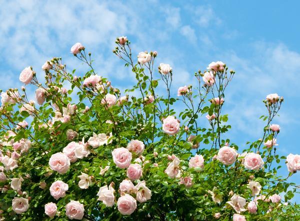 Летом у роз нужно обрезать увядающие цветы