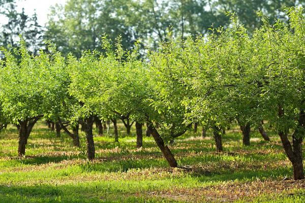 Важно знать возможные причины болезней плодовых деревьев