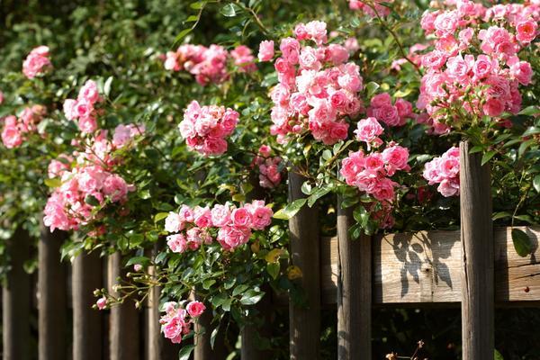 Плетистые розы - роскошный декор для забора
