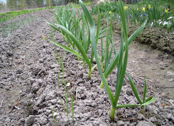 Почва под чесноком должна быть рыхлой и свободной от сорняков