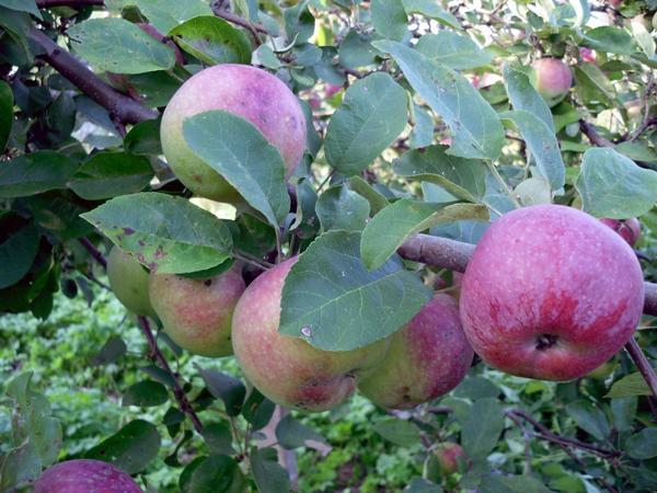 Зреют яблоки