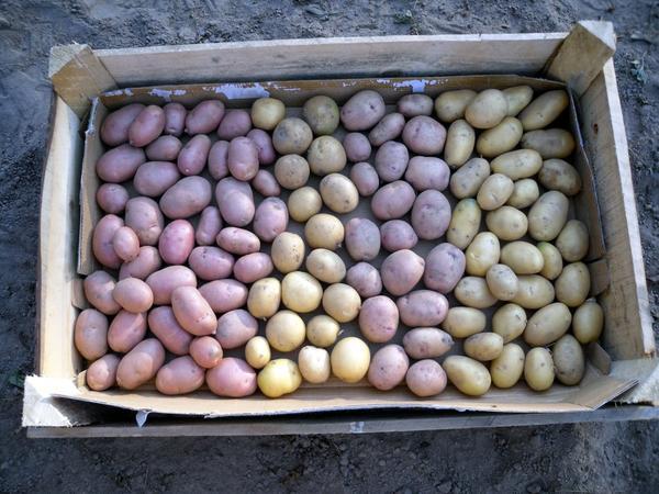 Семенной картофель отбираем сразу