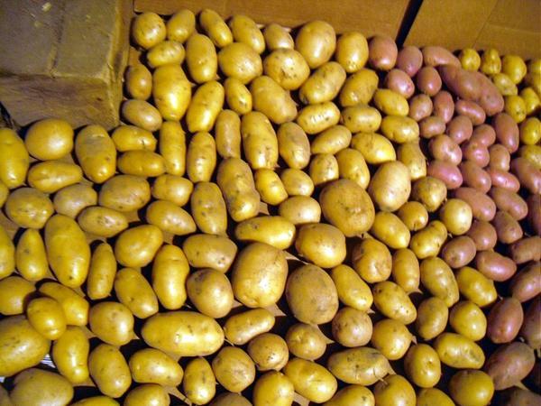 Отсортированную картошку нужно хорошо просушить, прежде чем убирать на хранение