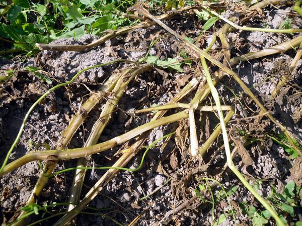 Полегла и засохла ботва - пришло время уборки урожая