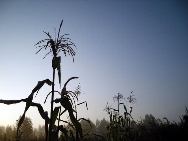 Кукуруза на рассвете