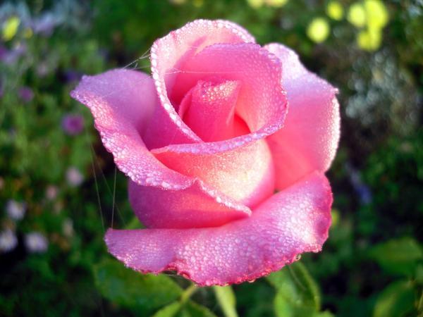 Распускающаяся роза в капельках росы