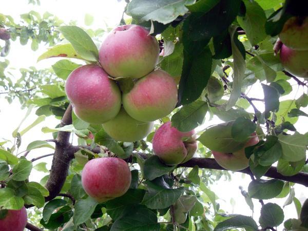 Яблоки важно убрать вовремя
