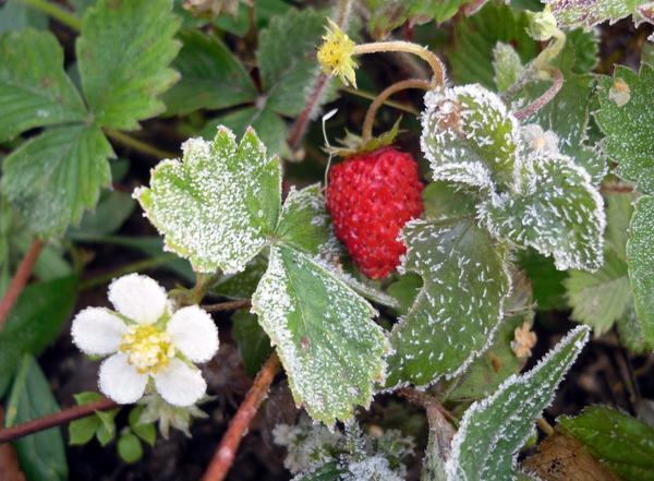 Земляника: цветы, ягоды и морозные узоры