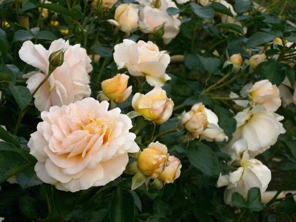 Обильноцветущие розы флорибунда сильно обрезать нельзя