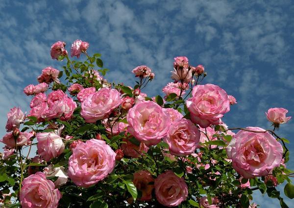 Плетистые розы могут сильно разрастаться