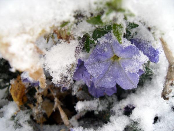 Петунии под снегом