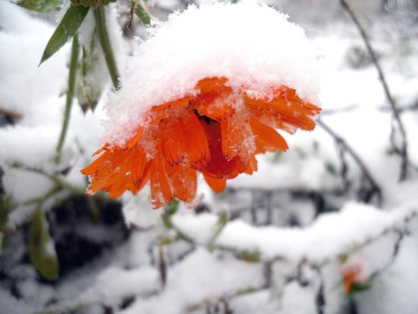 Календула в снегу