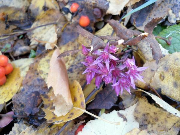Один из упорных - цветет даже под снегом))