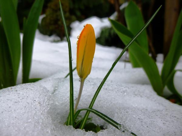 Крокусы зацветают, даже если вокруг еще лежит снег. Не каждое растение на это способно