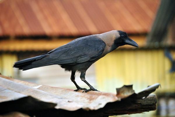 На Федора серая ворона начинает гнездо строить