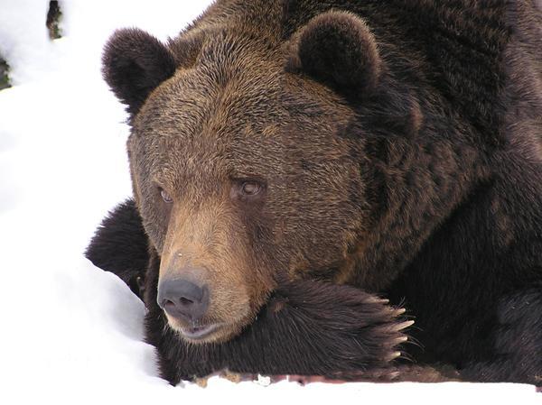 Медведи уже выбираются из берлог