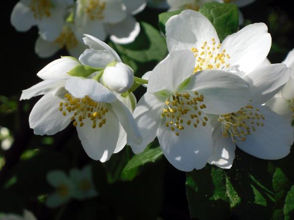 Цветущий чубушник
