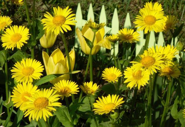 Желтые цветы - солнечные и позитивные