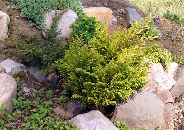 Золотисто-желтой может быть и листва, и хвоя