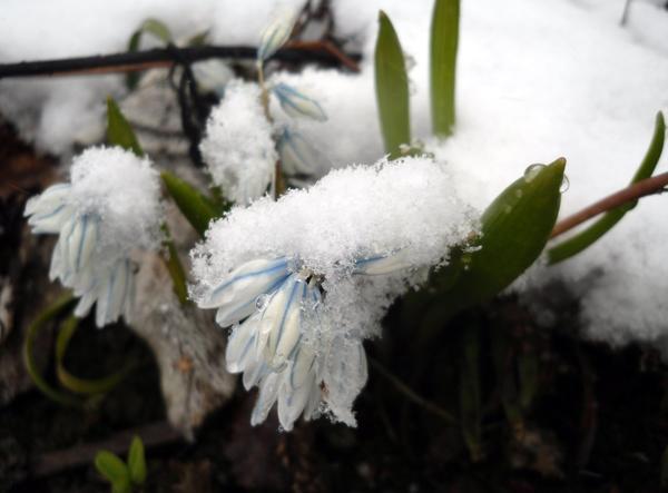 Пушкиния в снежной шапке