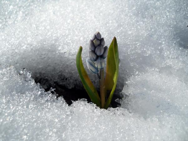 Пушкиния в снегу