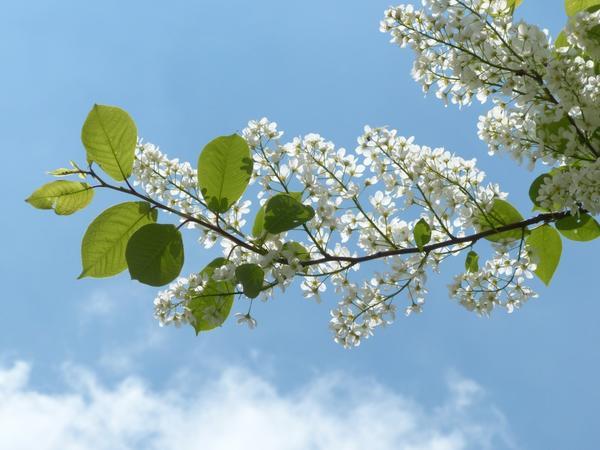 Раннее цветение черемухи сулит теплое лето