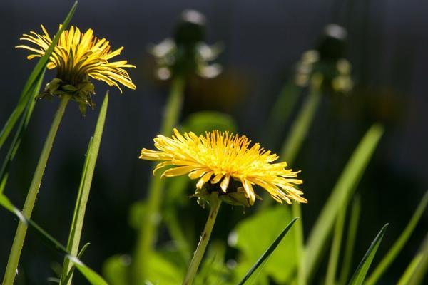 Позднее цветение одуванчиков обещает сухое лето