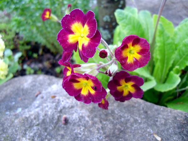 Цветущая примула, выращена из семян