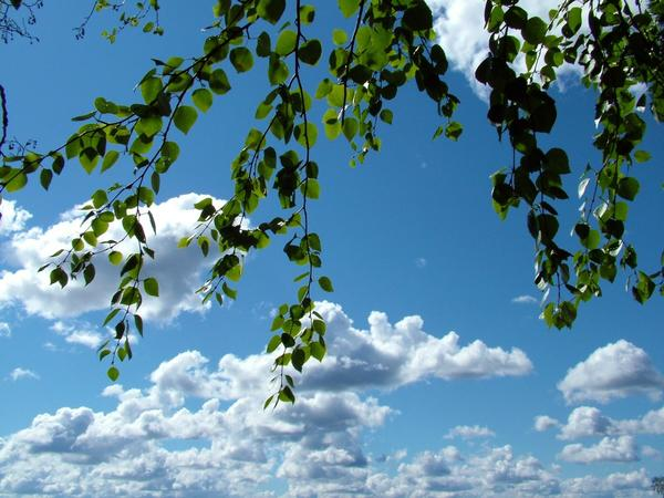 На Семик березовые ветви украшали лентами