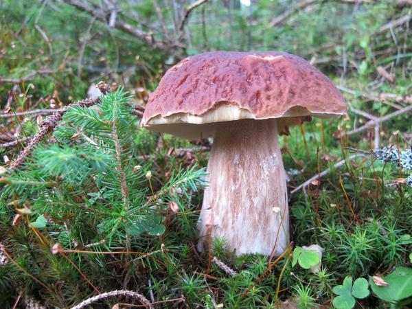 Пришла пора белых грибов