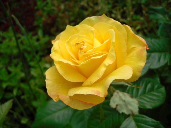 Роза распустилась