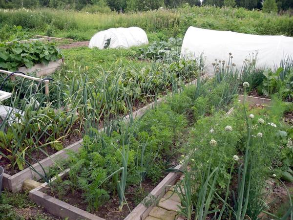 На отвоеванном у сорняков пространстве раскинулся огород