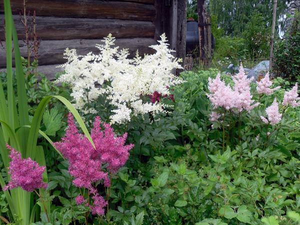 Сейчас здесь цветут астильбы