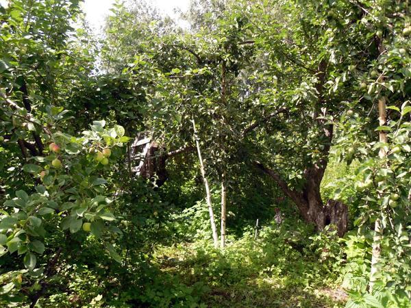 Старые яблони в саду