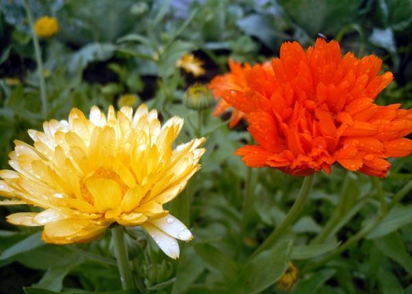 Календулы радуют солнечными красками даже в дождливую погоду