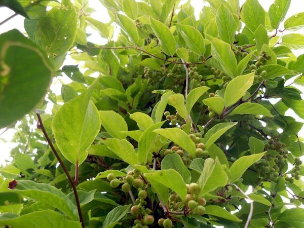 Будущий урожай лимонника