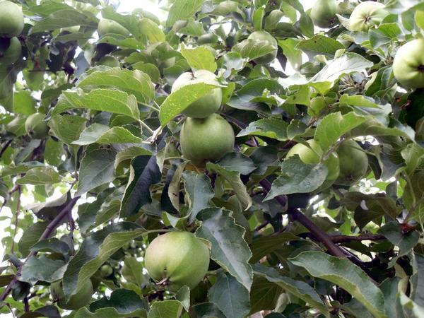 Урожай яблок обещает быть отличным