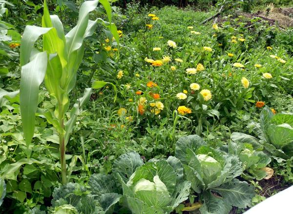 Календула в огороде