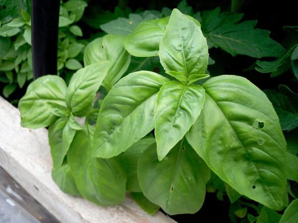 Базилик, сорта с зелеными листьями