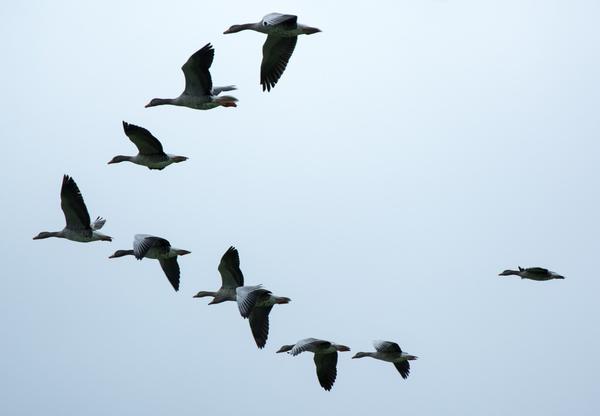 Перелетные птицы отправляются в теплые края