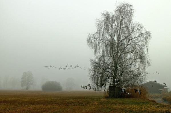 28 сентября - время массового отлета гусей