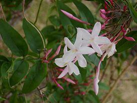 Так выглядит жасмин (фото из Википедии)