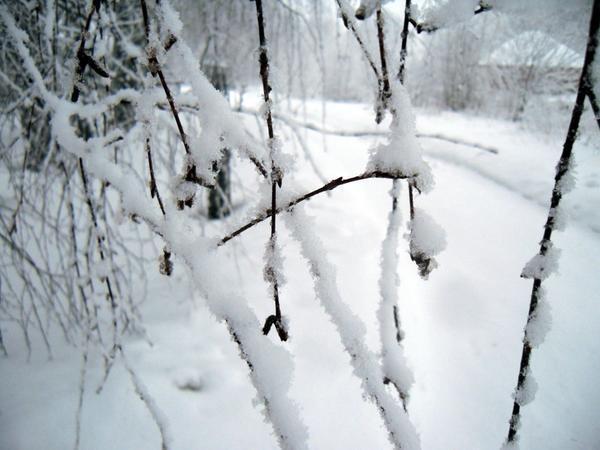 Снег на ветвях березы