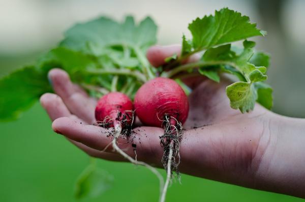 Чем раньше посеем редис, тем лучше будет урожай