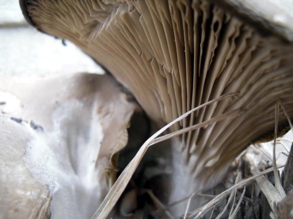 Так выглядят пластинки гриба
