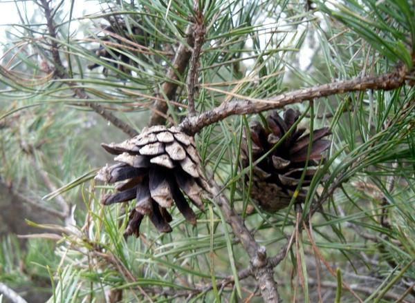 В лес за шишками