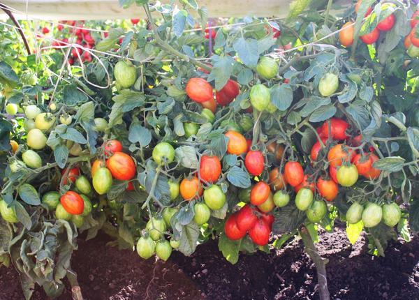 Правильно подобранные сорта дадут обильный урожай