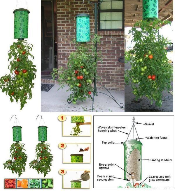 Чтобы томаты росли вверх тормашками