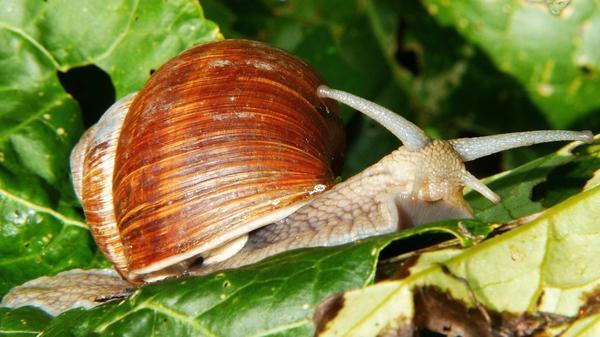 Улитки и слизни часто повреждают листья перца