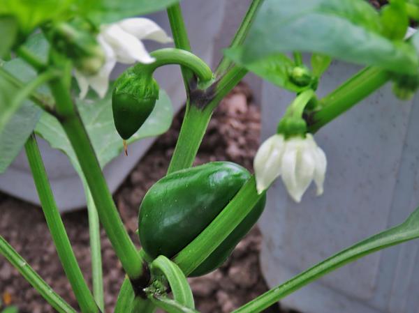В большинстве регионов нашей страны перец приходится выращивать в теплицах или парниках. Фото пользователя Зинаида Федорова